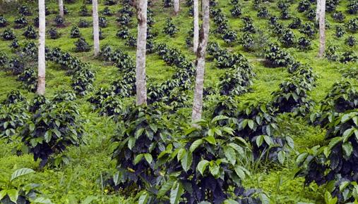 Coffee plants: Consider perking up your portfolio with a bit of coffee, whether via stocks or futures