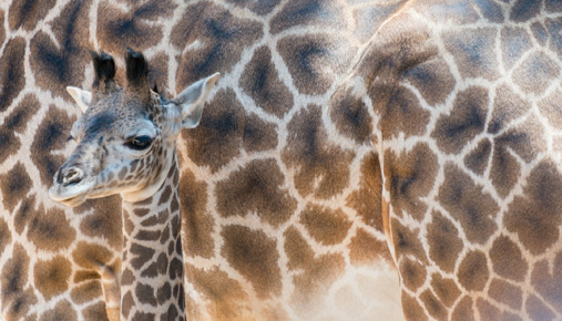 Growing giraffe: Growth investors consider large-cap stocks as well as small-caps