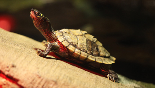 Turtle traders: Follow the trend to trade like a turtle.