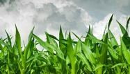 """Can You Spot a """"Weather Market?"""" Corn, Crude, Other Commodities"""
